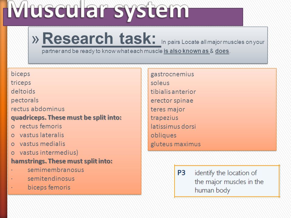 Muscular system Research task: In pairs Locate all major muscles on your partner and be ready to know what each muscle is also known as & does.