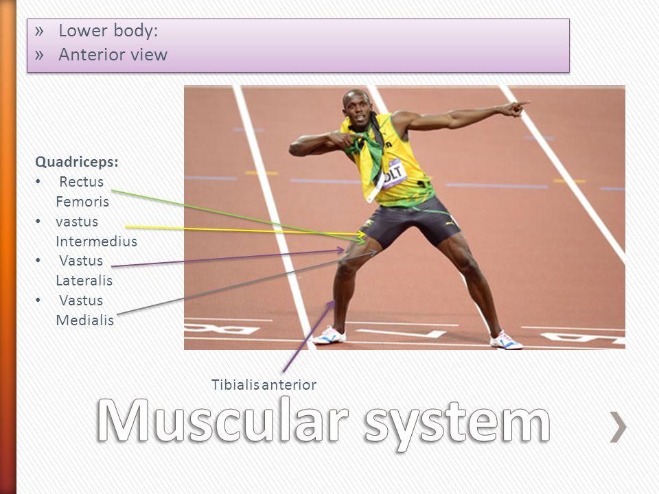 Muscular system Lower body: Anterior view Quadriceps: Rectus Femoris