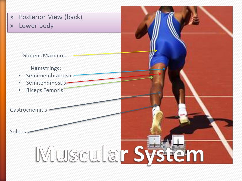 Muscular System Posterior View (back) Lower body Gluteus Maximus
