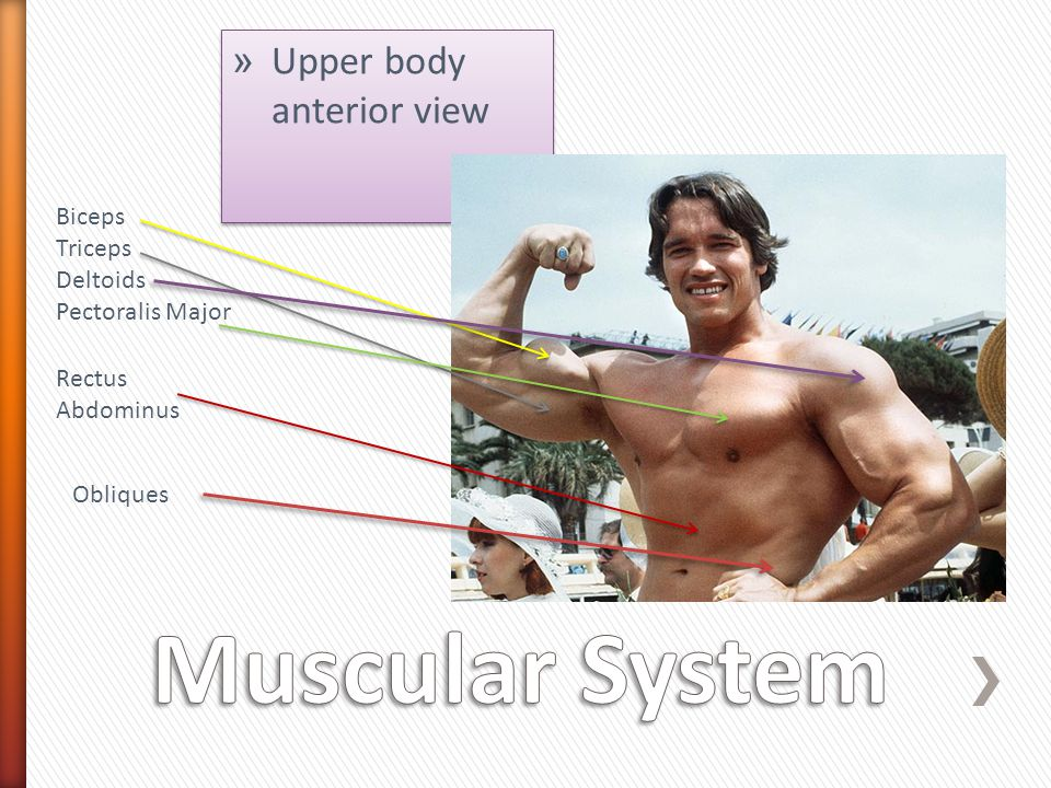 Muscular System Upper body anterior view Biceps Triceps Deltoids