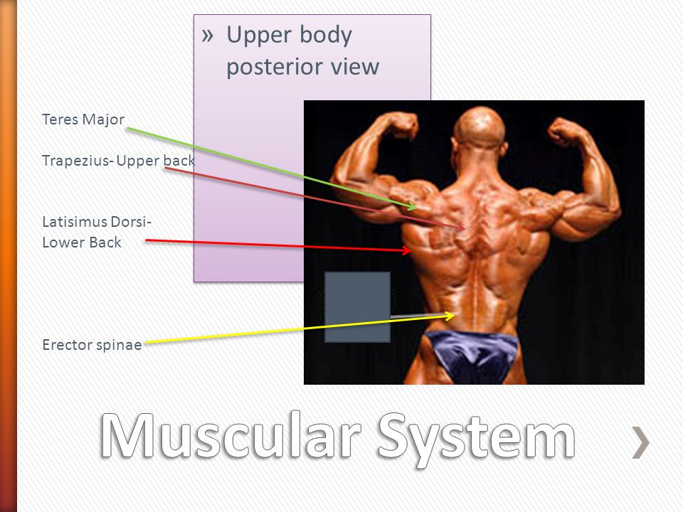 Muscular System Upper body posterior view Teres Major