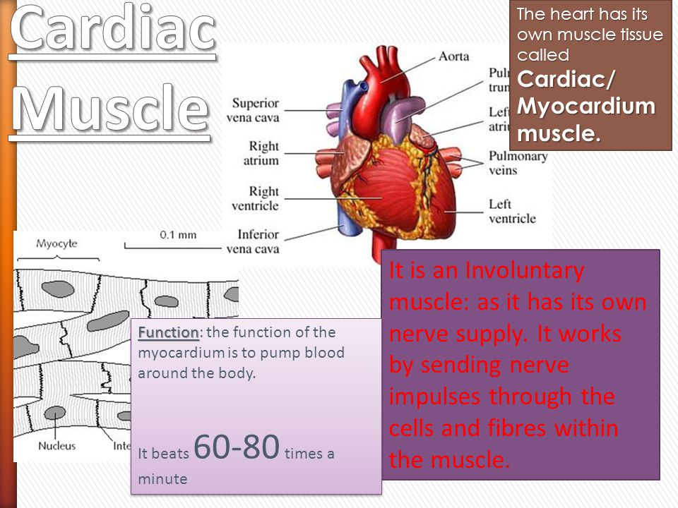 The heart has its own muscle tissue called Cardiac/