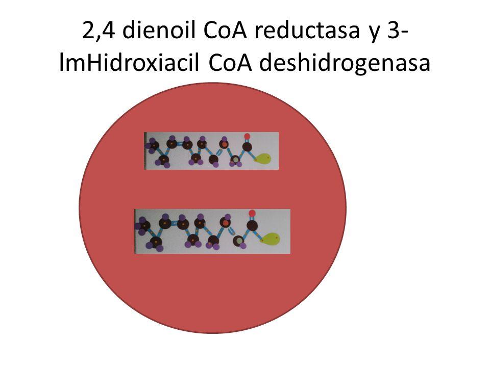 2,4 dienoil CoA reductasa y 3-lmHidroxiacil CoA deshidrogenasa