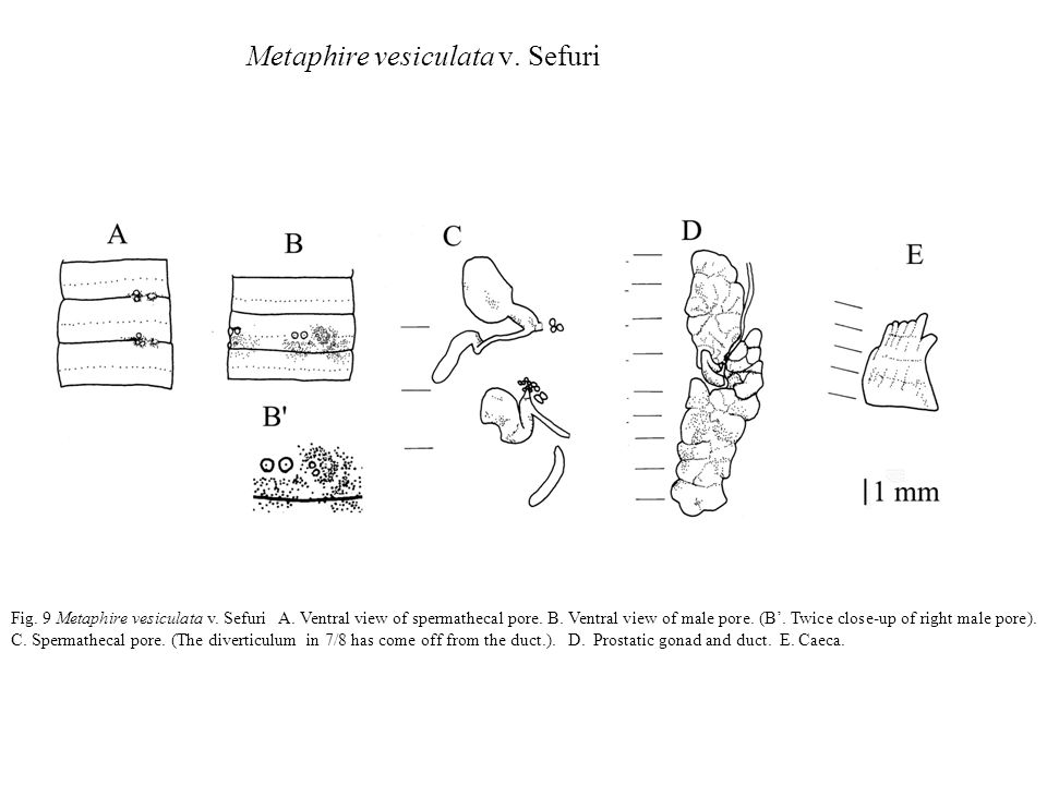 Metaphire vesiculata v. Sefuri