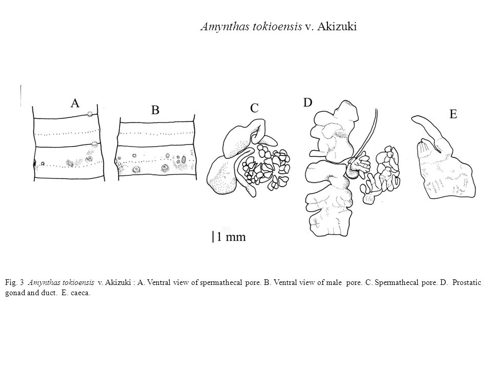 Amynthas tokioensis v. Akizuki