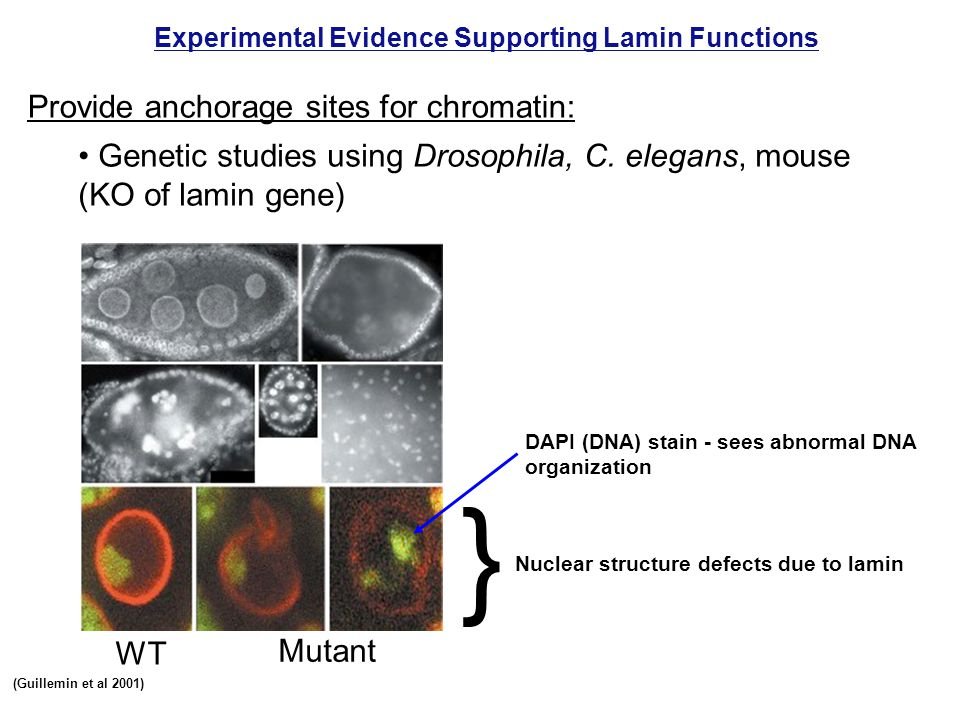 } Provide anchorage sites for chromatin: