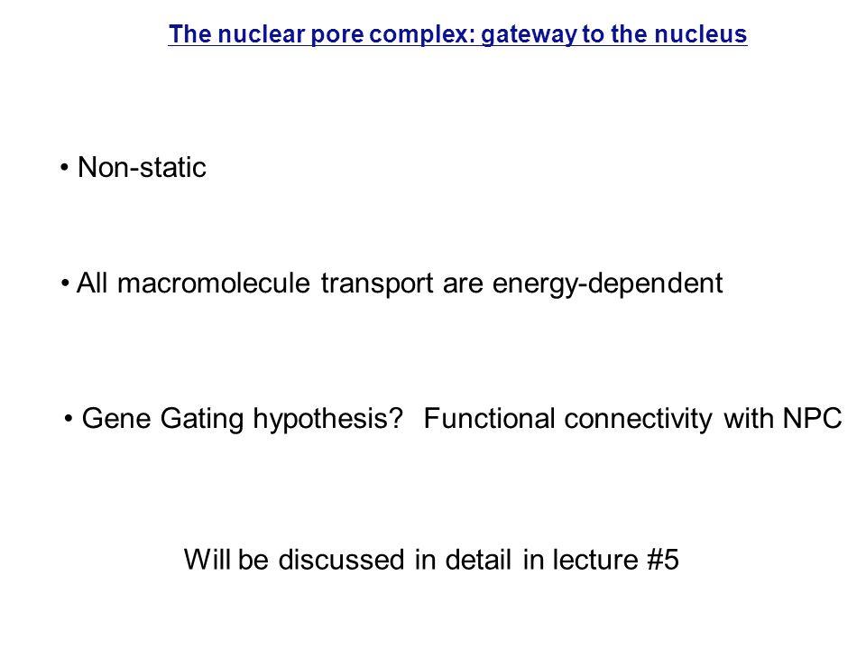 All macromolecule transport are energy-dependent