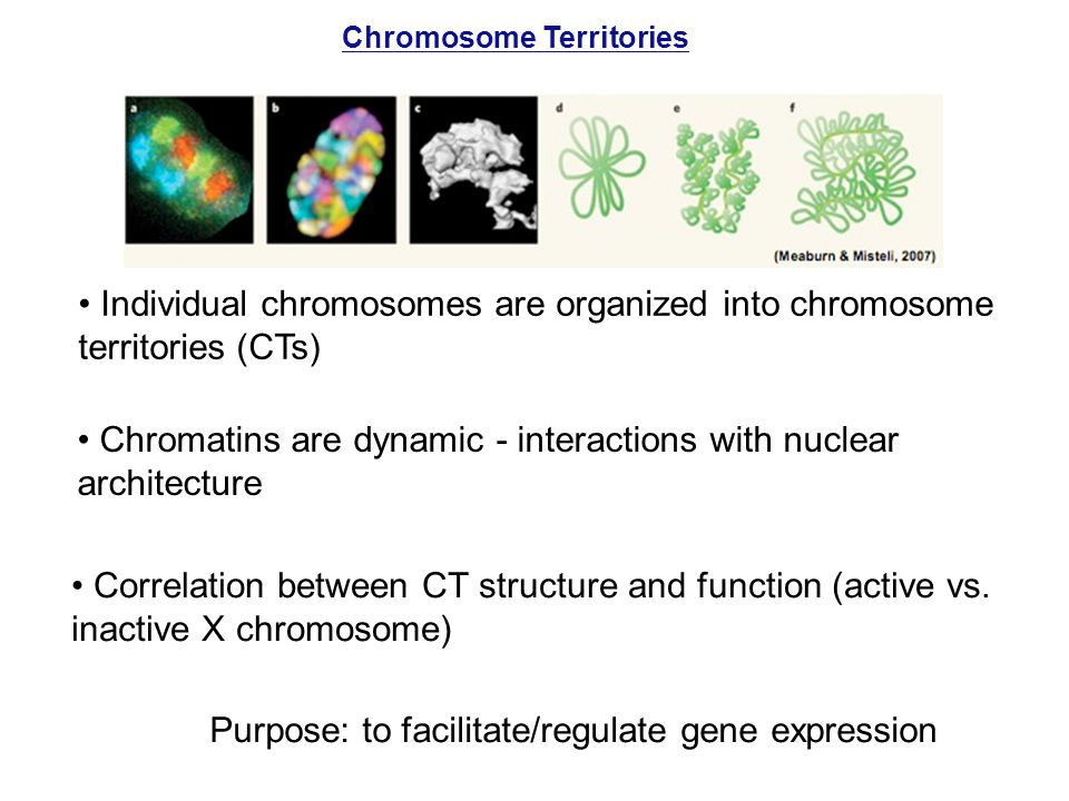 Individual chromosomes are organized into chromosome territories (CTs)