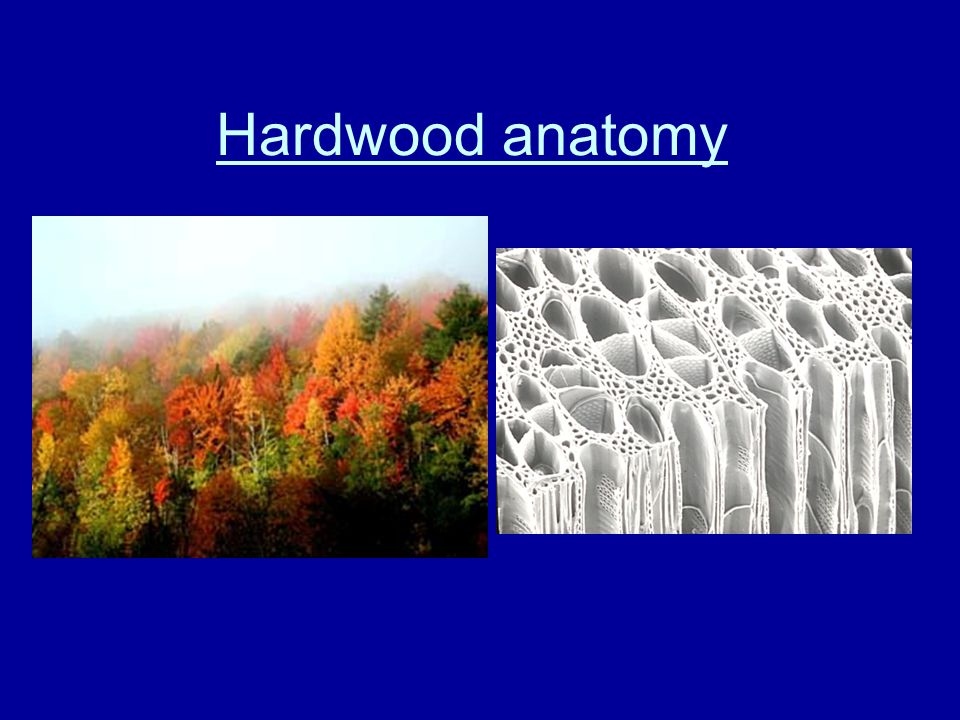 Hardwood anatomy