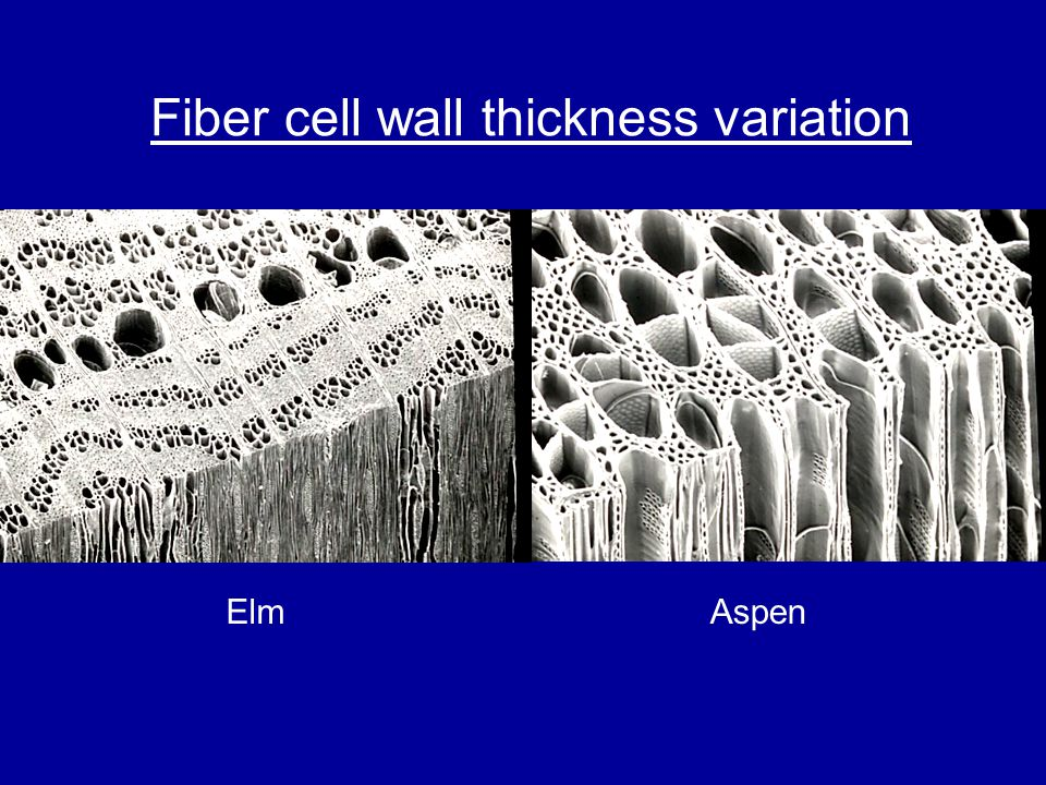 Fiber cell wall thickness variation