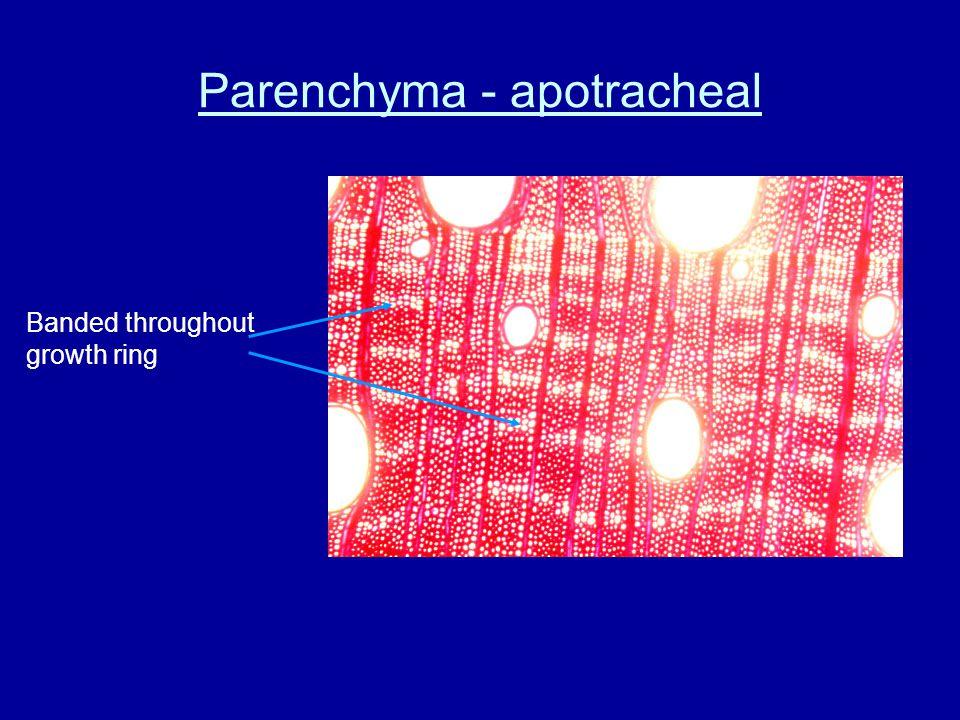 Parenchyma - apotracheal