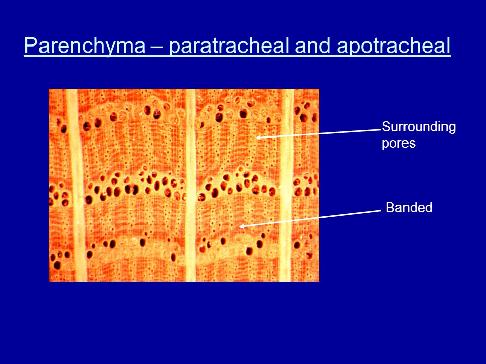 Parenchyma – paratracheal and apotracheal