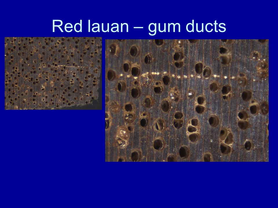 Red lauan – gum ducts