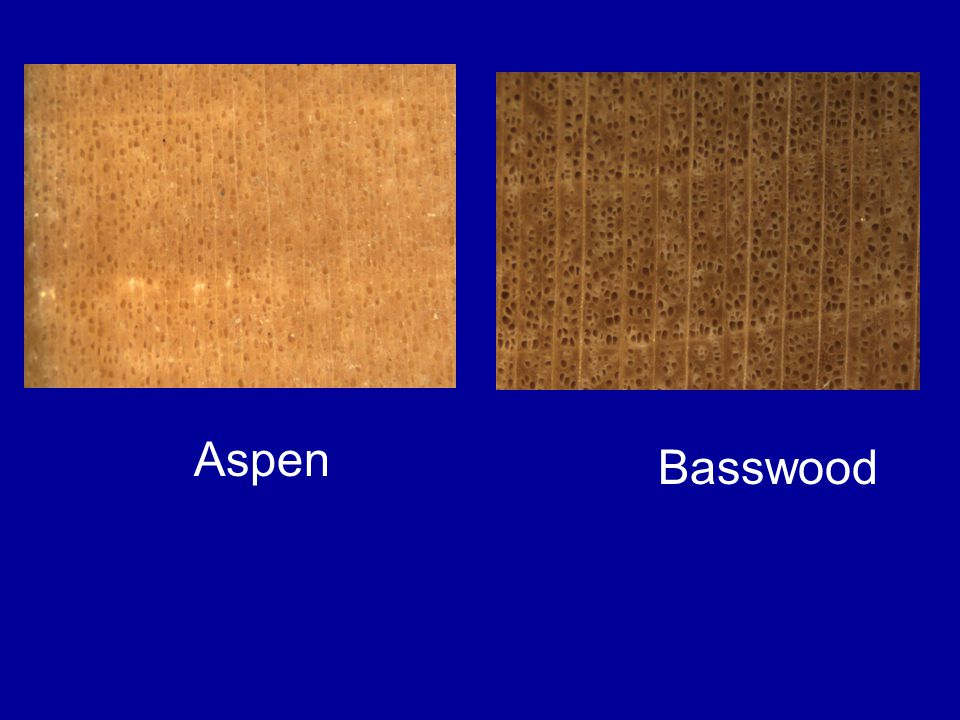 Aspen Basswood