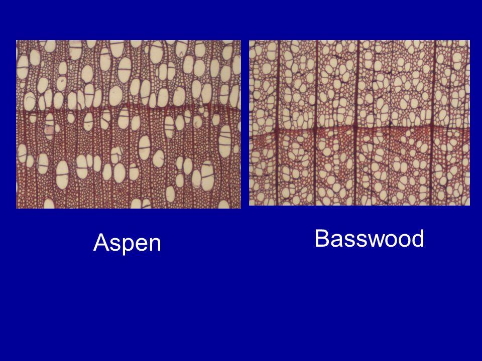 Basswood Aspen