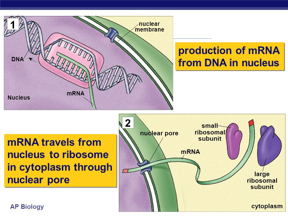 production of mRNA from DNA in nucleus