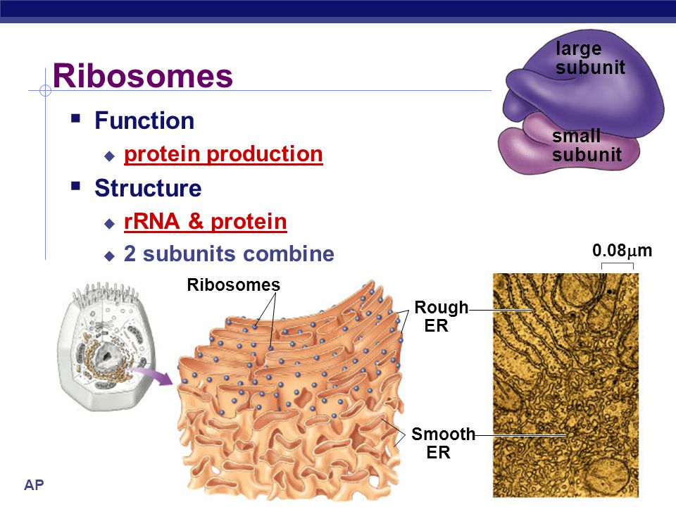 Ribosomes Function Structure protein production rRNA & protein