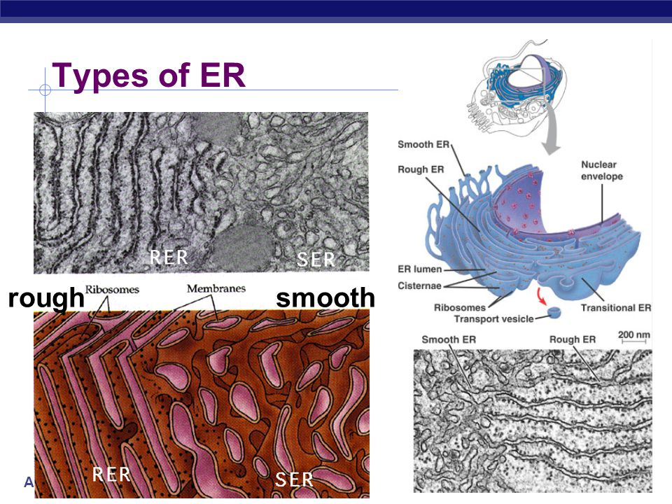 Types of ER rough smooth