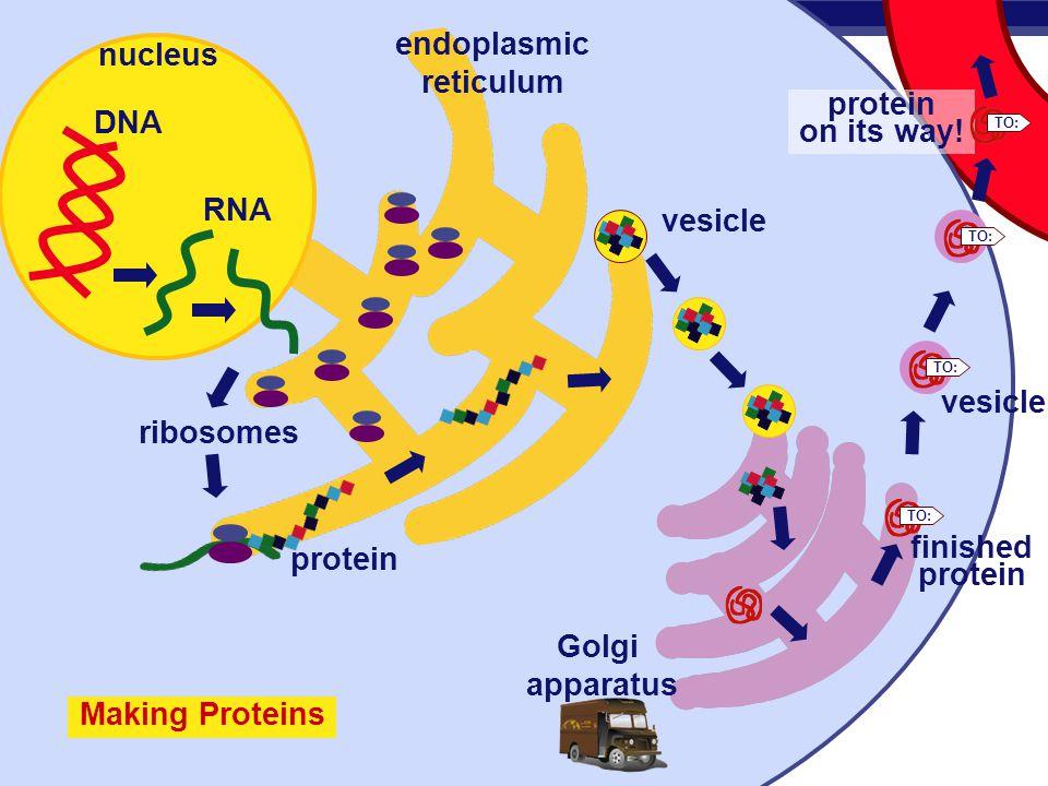 Tour Of The Cell Ppt Download