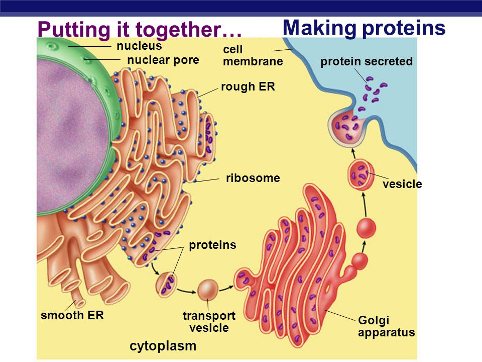 Making proteins Putting it together… cytoplasm nucleus cell membrane