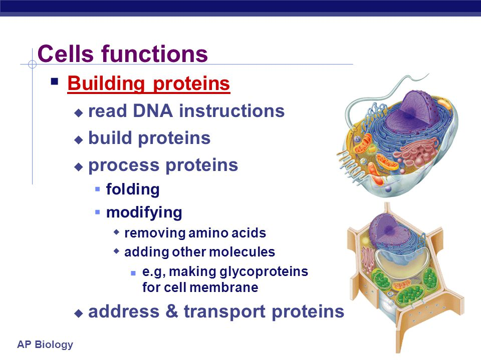 Cells functions Building proteins read DNA instructions build proteins