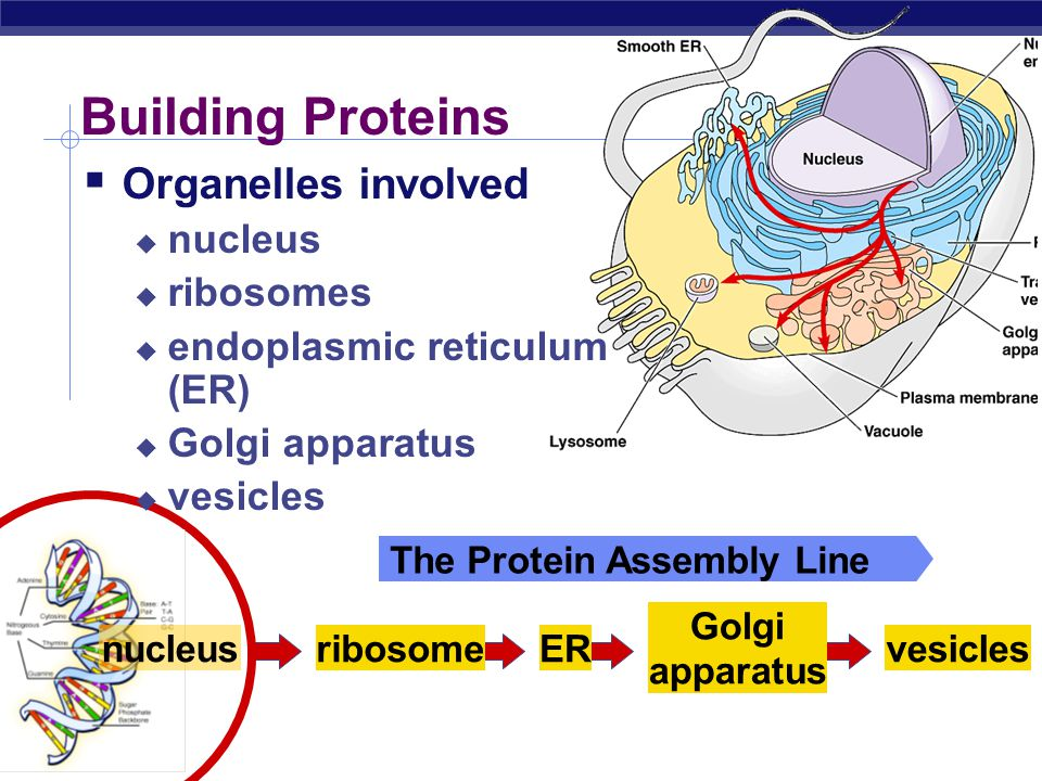 Building Proteins Organelles involved nucleus ribosomes