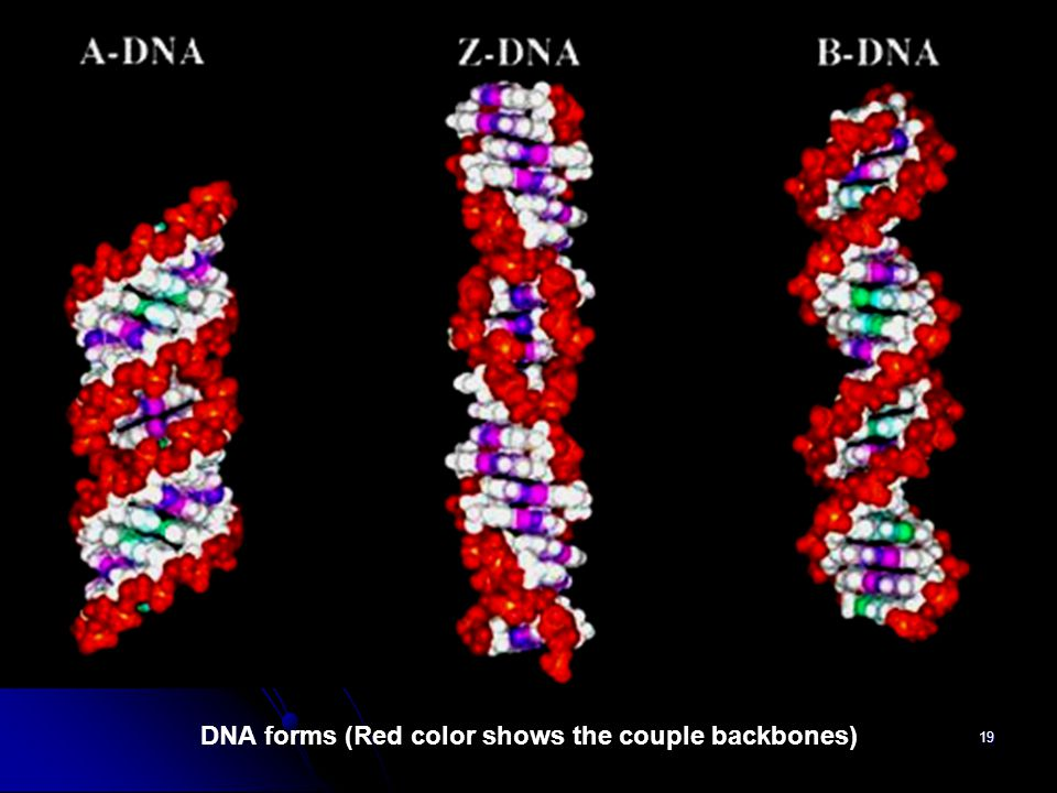 DNA forms (Red color shows the couple backbones)