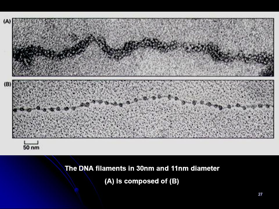 The DNA filaments in 30nm and 11nm diameter
