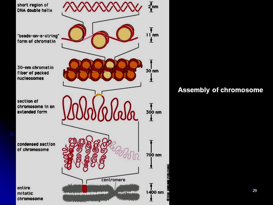Assembly of chromosome