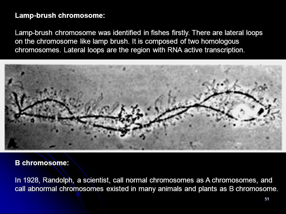 Lamp-brush chromosome: