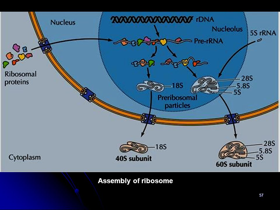 Assembly of ribosome