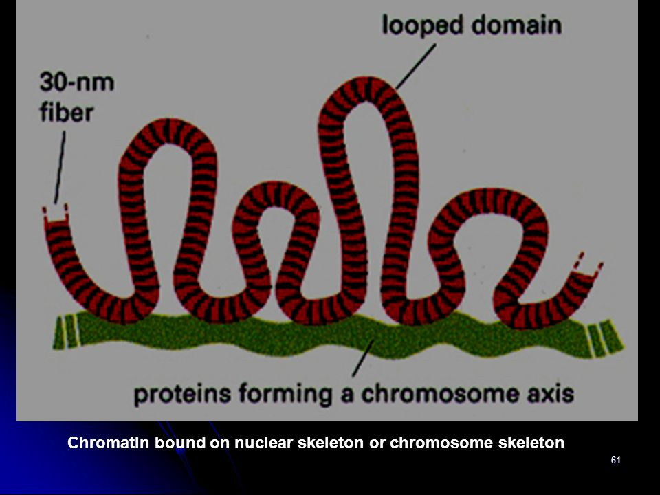 Chromatin bound on nuclear skeleton or chromosome skeleton