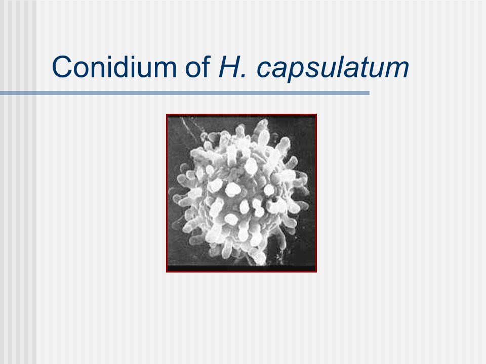 Conidium of H. capsulatum