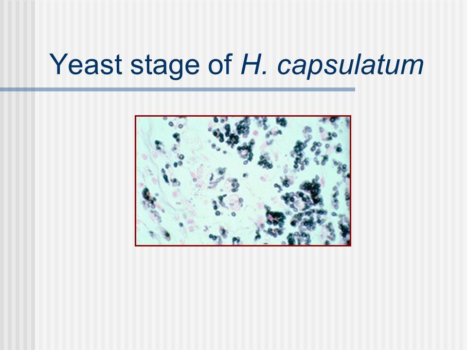 Yeast stage of H. capsulatum