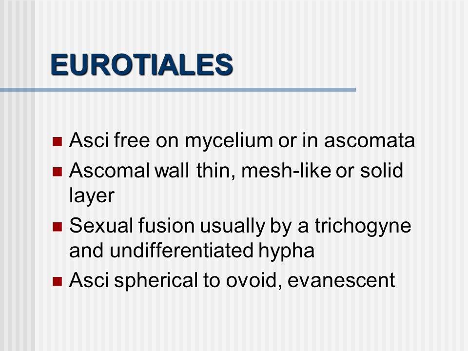 EUROTIALES Asci free on mycelium or in ascomata