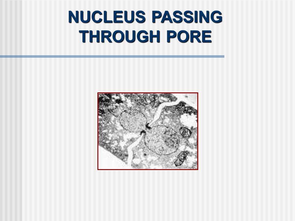 NUCLEUS PASSING THROUGH PORE