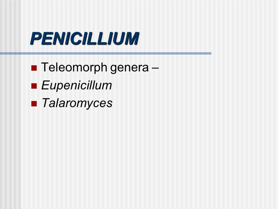 PENICILLIUM Teleomorph genera – Eupenicillum Talaromyces