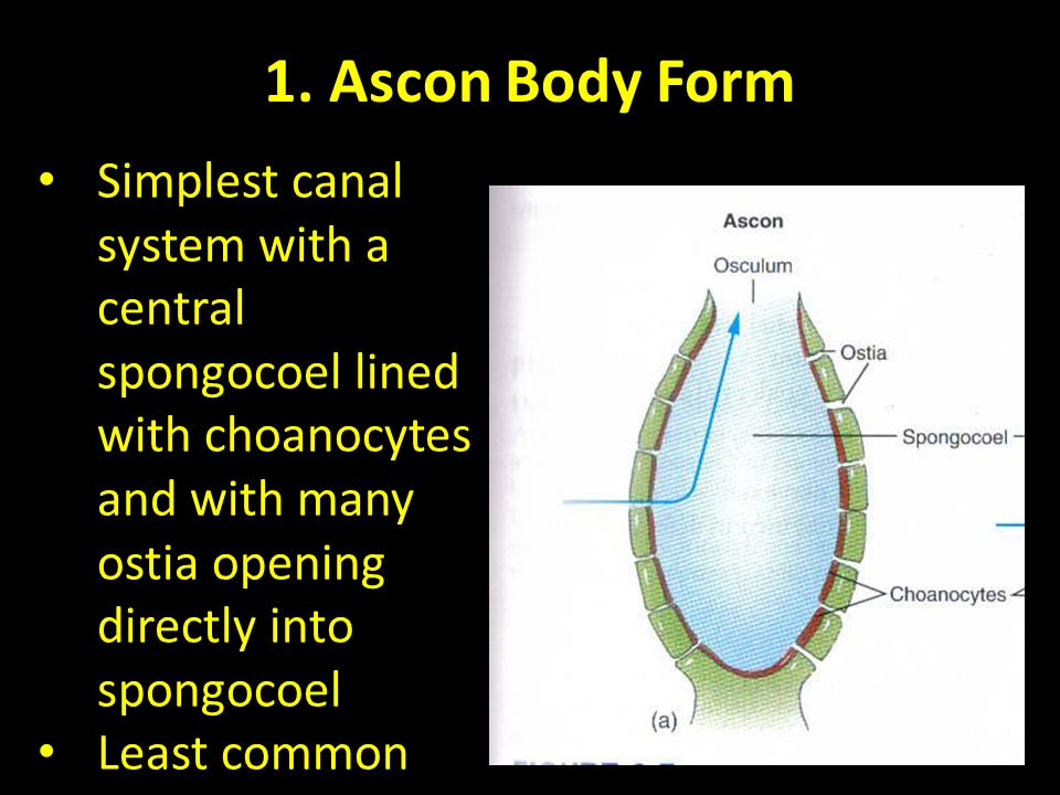1. Ascon Body Form Simplest canal system with a central spongocoel lined with choanocytes and with many ostia opening directly into spongocoel.