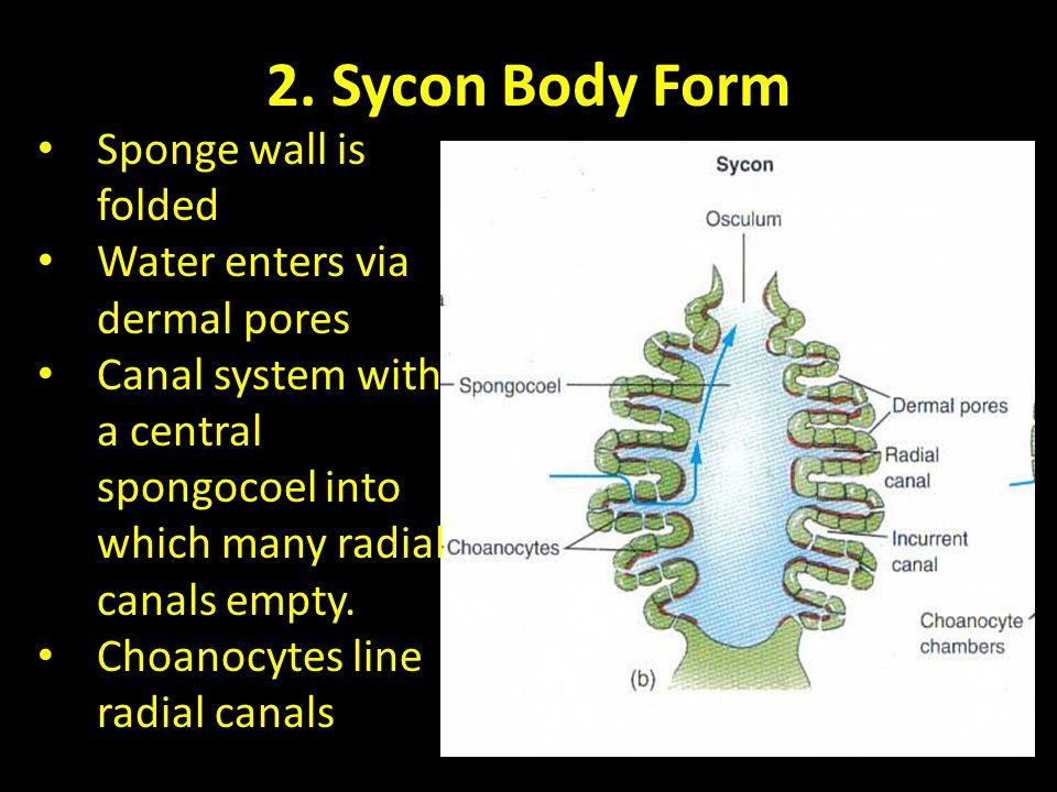 2. Sycon Body Form Sponge wall is folded Water enters via dermal pores
