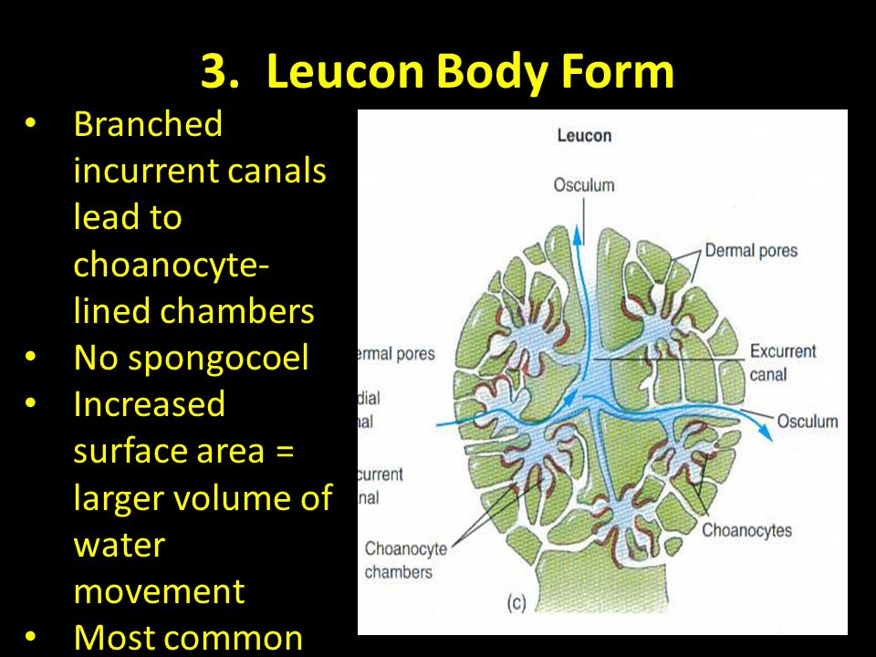 3. Leucon Body Form Branched incurrent canals lead to choanocyte-lined chambers. No spongocoel.
