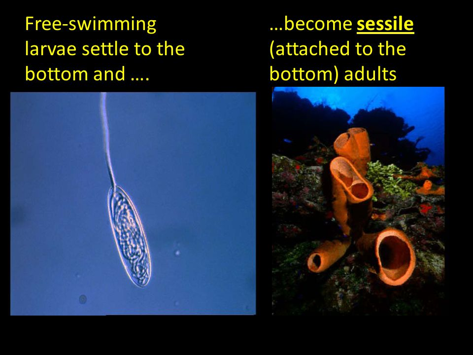 Free-swimming larvae settle to the bottom and ….