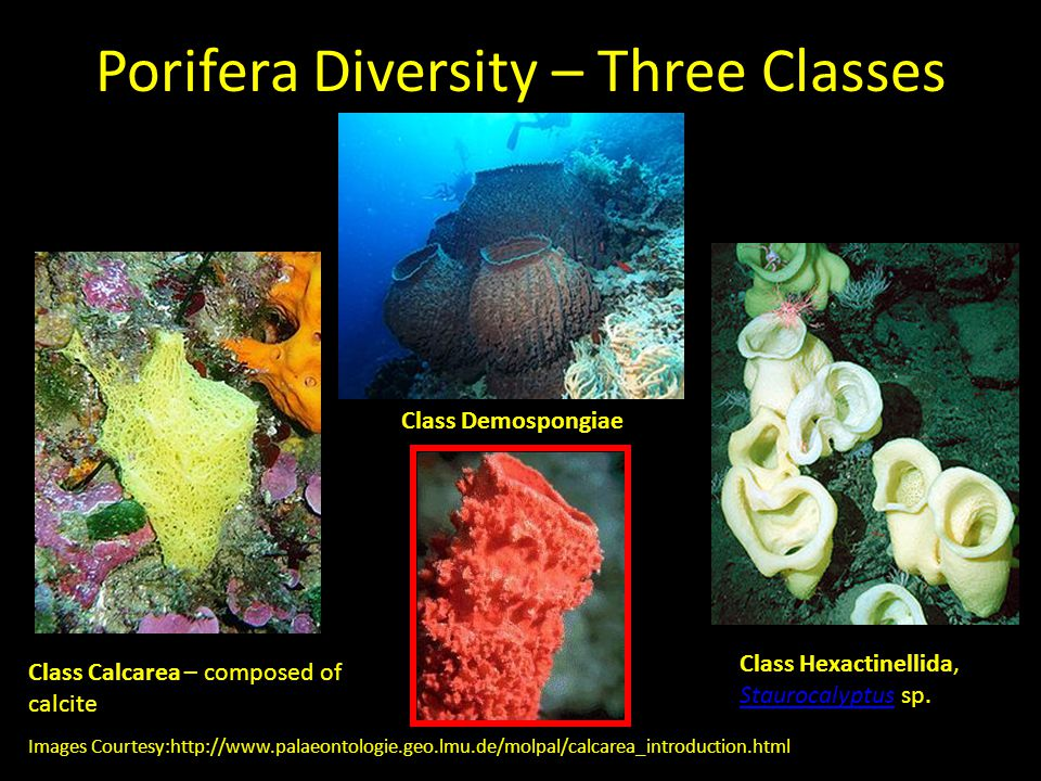 Porifera Diversity – Three Classes