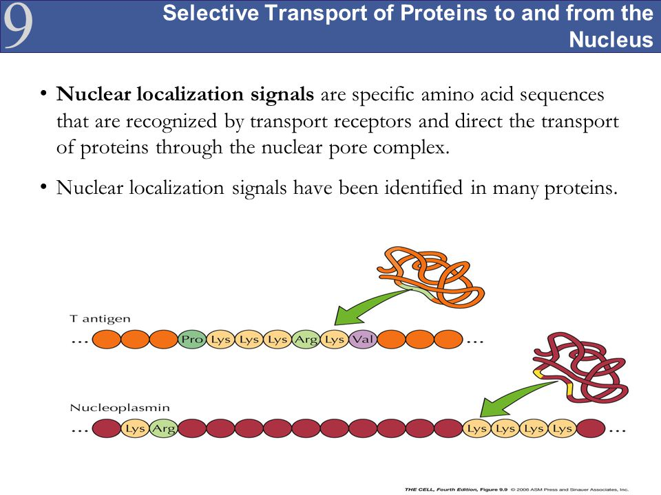 Selective Transport of Proteins to and from the Nucleus