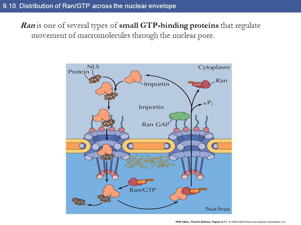 9.10 Distribution of Ran/GTP across the nuclear envelope
