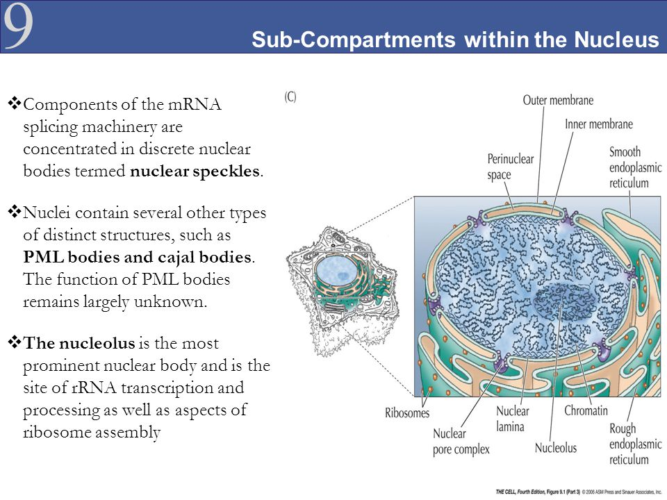Sub-Compartments within the Nucleus