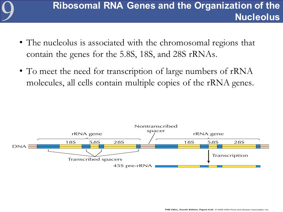 Ribosomal RNA Genes and the Organization of the Nucleolus