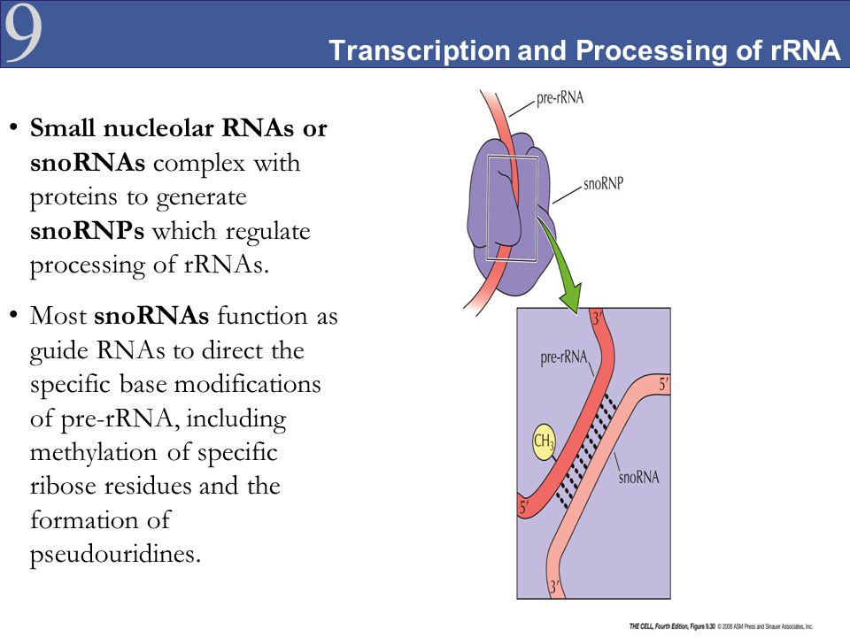 Transcription and Processing of rRNA