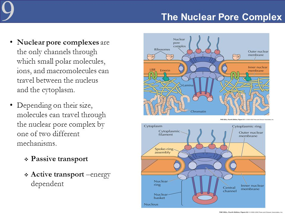 The Nuclear Pore Complex