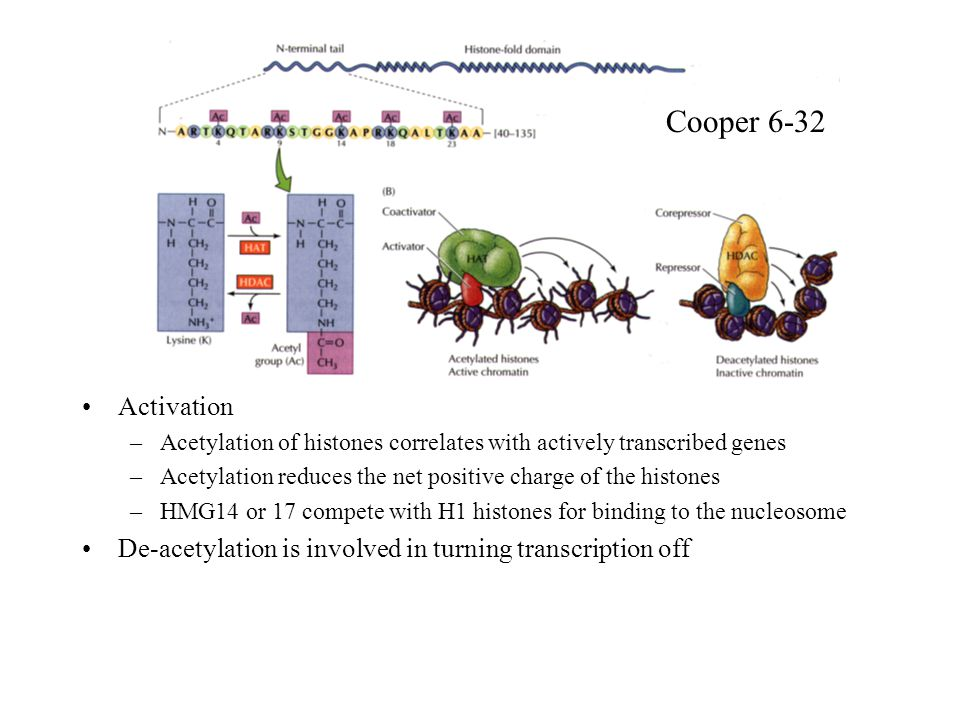 Cooper 6-32 Activation. Acetylation of histones correlates with actively transcribed genes.