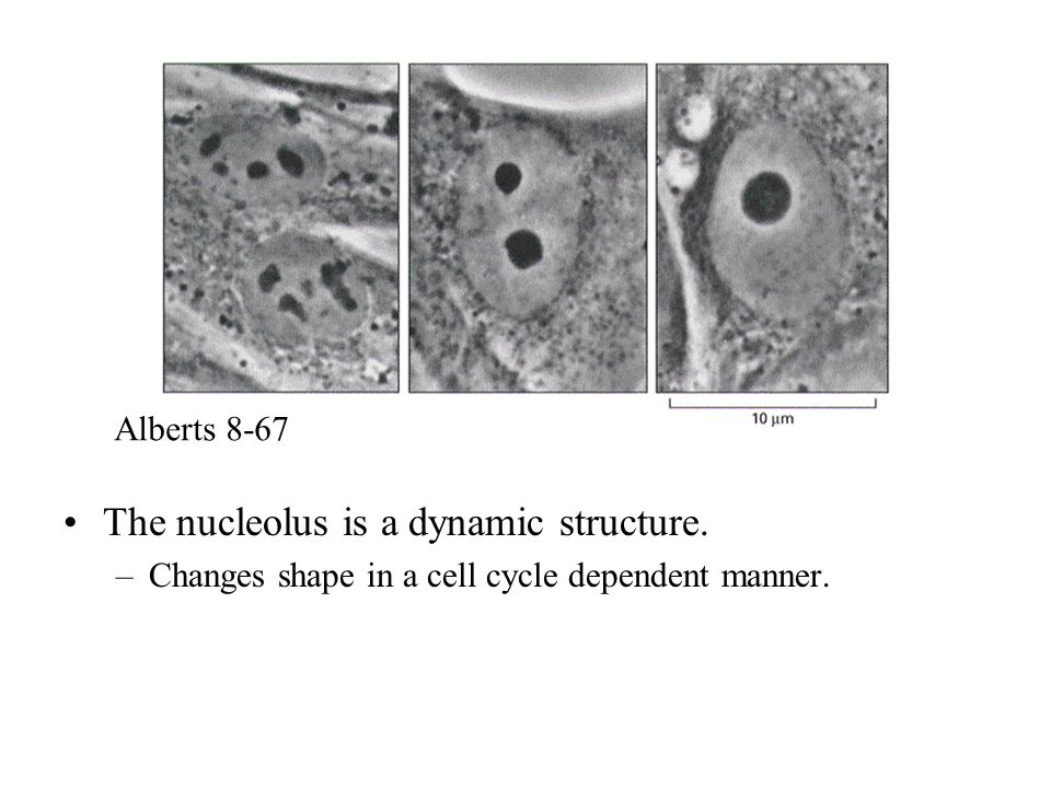 The nucleolus is a dynamic structure.